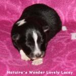 Sheltie Lacey